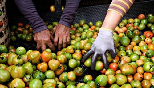 Foto Petani Tomat Menjerit: Ogah Panen karena Harga Anjlok