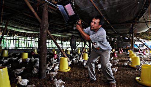 Foto Ciamis Krisis Pakan Ayam Petelur