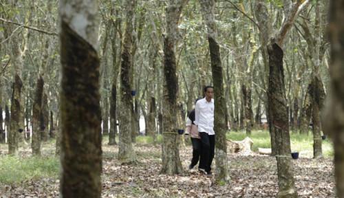 Foto Peremajaan Lahan Karet Masih Jauh dari Target, Pemerintah Disarankan Bentuk BPDP