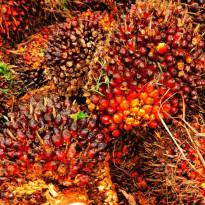 Red Palm Oil: Si Merah Hebat, Banyak Manfaat, Jadikan Sehat!