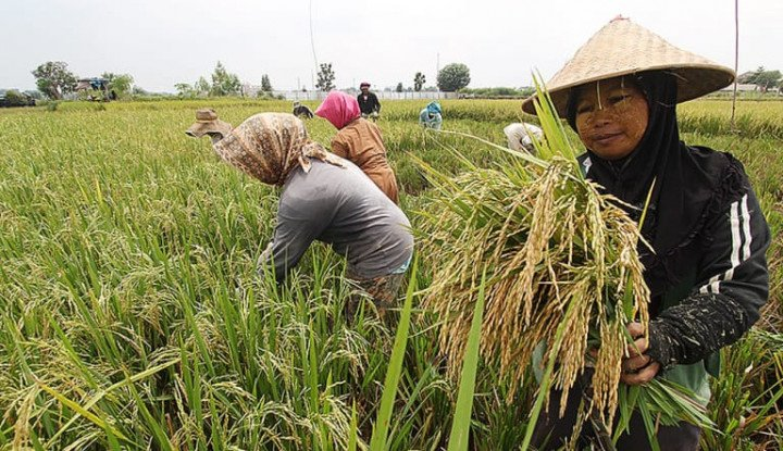 provinsi jambi panen raya padi