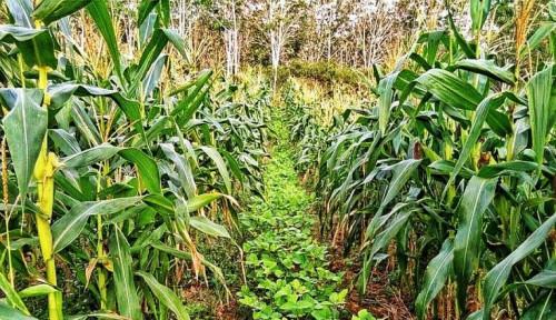 Foto Tingkatkan Produksi Pajale, Petani Bisa Coba Pola Tanam Tumpangsari. Apa Itu?