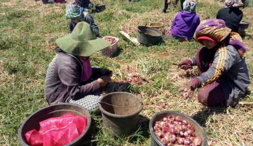 Foto Bawang Merah Provitas 20 Ton Asal Bantaeng Siap Didaftarkan