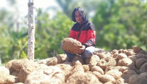 Foto Kisah Pemulung Tanah Air yang Jadi Miliarder Usai Tanam Umbi Porang