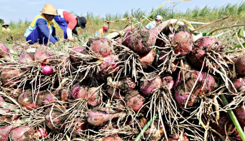 Mentan SYL Panen Bawang Merah di Bima, Produksi Melimpah