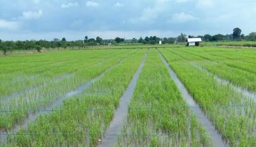 Foto Kementan Fokus Tata Lahan Rawa Tingkatkan Produksi Pangan