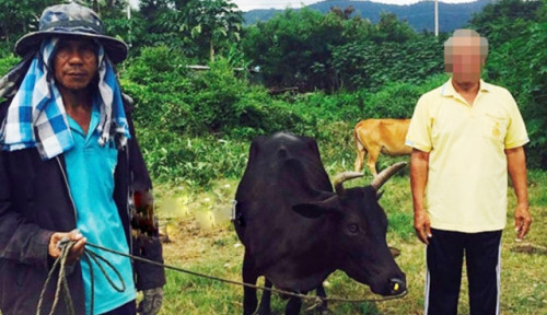 Foto Kakek 68 Tahun di Thailand Kepergok Perkosa Sapi, Saat Diintrogasi Bilang. . .
