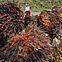 Era New Normal, Industri Kelapa Sawit Indonesia Makin Potensial!