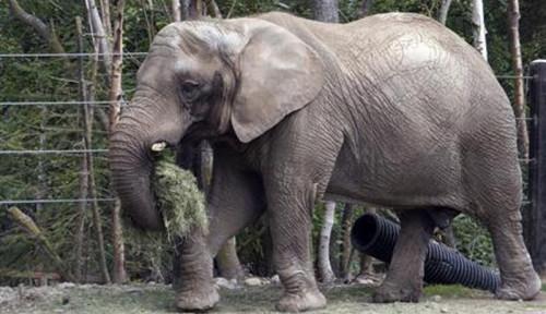 Gajah Lahir Diberi Nama Covid