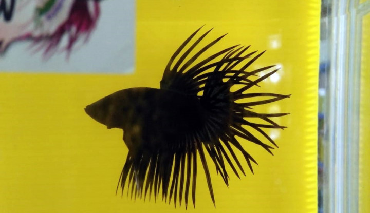 KKP Gelar Kontes Ikan Cupang, Sarana Penyaluran Hobi dan Edukasi - Warta Ekonomi