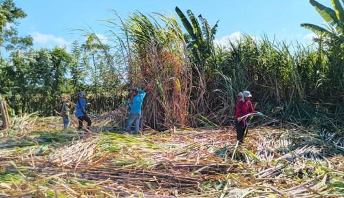 PTPN III & Perhutani Garap Hutan 130 Ribu Ha, Tanam Tebu-Jagung