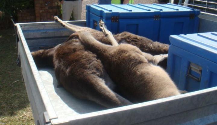 Kangguru Ditemukan Mati di Jalan Kota Sydney, Remaja 19 Tahun Diduga Bertanggung Jawab - Warta Ekonomi