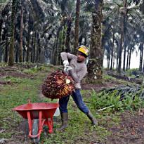 7 Bulan ke Depan, Faktor Utama Sektor Kelapa Sawit Apa Aja Sih?