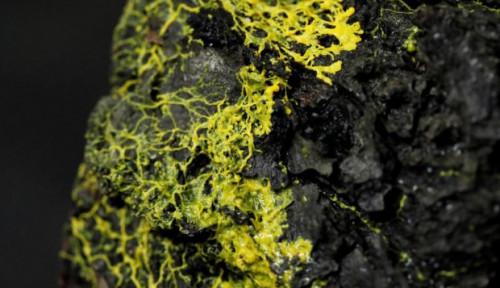 Foto Blob, Organisme Misterius Tanpa Otak dengan 720 Kelamin