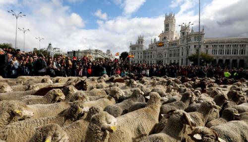 Foto Kawanan Domba dan Kambing Penuhi Jalanan Madrid, Ada Apa?