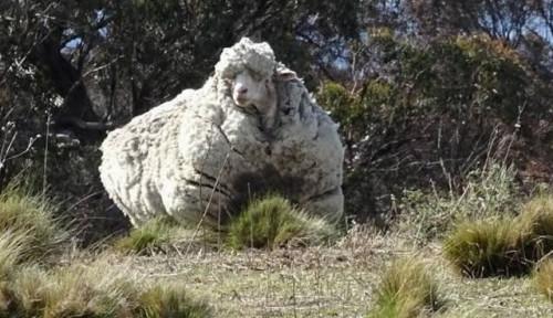 Foto Domba Berbulu Tebal di Australia Mati, Penyebabnya. . .