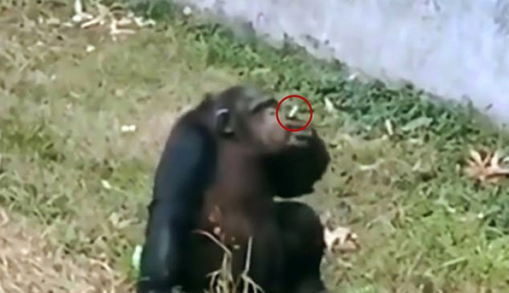 Viral Simpanse Isap Rokok Kayak Manusia di Bonbin China, Warganet Prihatin - Warta Ekonomi