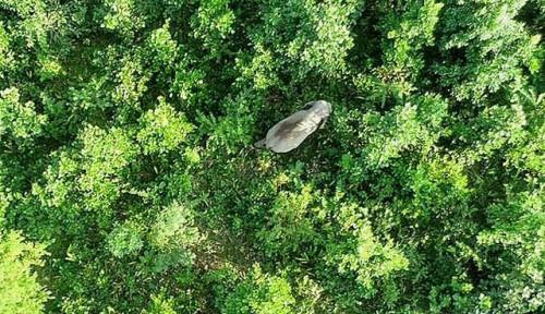 Foto Diberi Nama Osama bin Laden, Seekor Gajah Mengamuk dan Tewaskan Warga