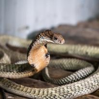 Gagal Pakai Ular Viper, Pria Ini Malah Bunuh Istrinya dengan Kobra