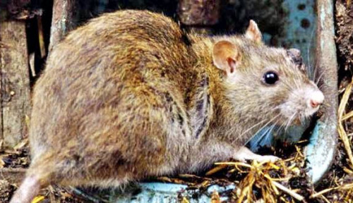 Gegara Corona, Perilaku Tikus juga Berubah