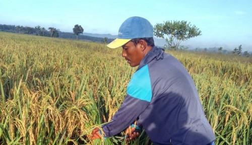 Maluku Siap Produksi Benih Padi untuk Tangani Stunting