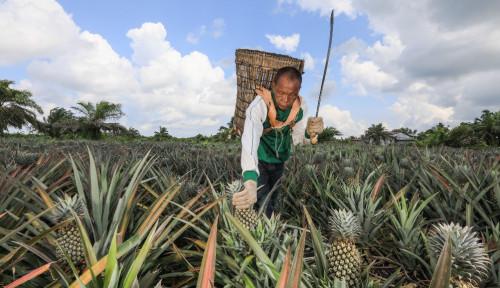 Berkat Pembinaan CD RAPP, Pendapatan Petani Nanas di Riau Stabil