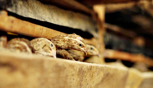 Foto Cara Beternak Burung Puyuh di Masa Pandemi Covid-19