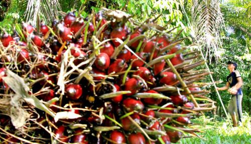 Dari Asian Agri untuk Petani Plasma: Produktivitas Sawit Akan Meningkat!