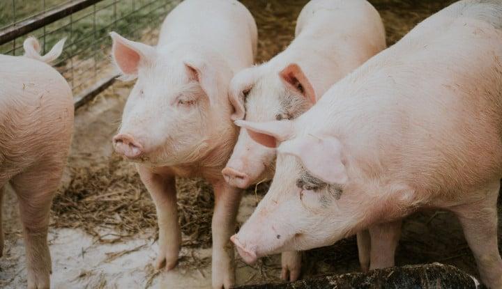 Alamak! Ilmuwan China Jumpai Virus Corona Babi, Berpotensi Tularkan Manusia!