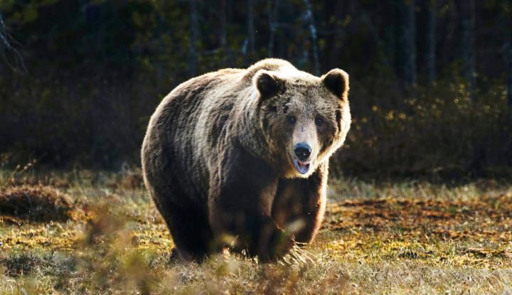 Ngeri! Bangkai Beruang Purba 40 Ribu Tahun Lalu Ditemukan di Siberia
