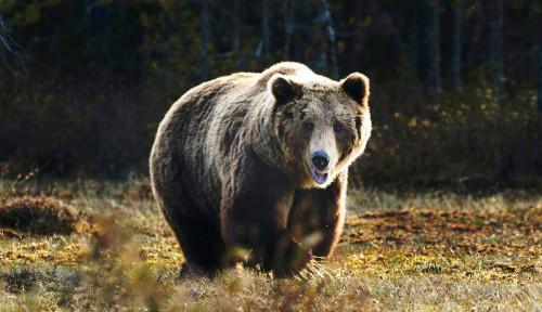 Wanita Amerika yang Sempat Hilang Ternyata Ditemukan Jadi Santapan Kawanan Beruang