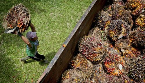 KSP: Upaya Kerja Sama Institusi Mendukung Tata Kelola Perkebunan Sawit