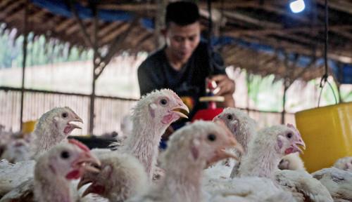 Beri Lampu Hijau, Daging Ayam Rekayasa Laboratorium Siap Edar di Singapura