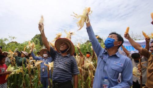 Kolaborasi dan Sinergi Ketahanan Pangan, Desa Binaan Inalum Panen Raya Jagung
