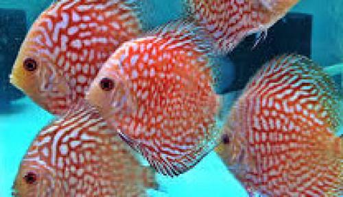Sekarang Lagi Hits, Ikan Discus Bisa Tembus Rp17 Juta