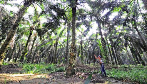 Sawit, Anugerah di Tanah Indonesia Sejak Zaman Kolonial