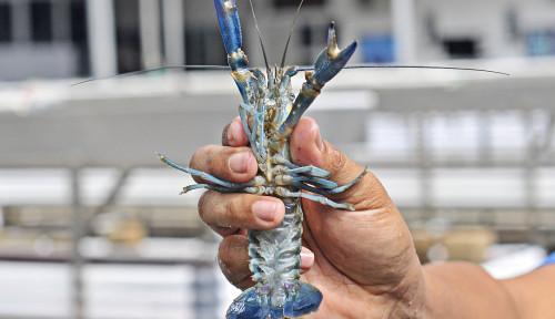 KKP Lepas 401 Ribu Benih Lobster Hasil Selundupan