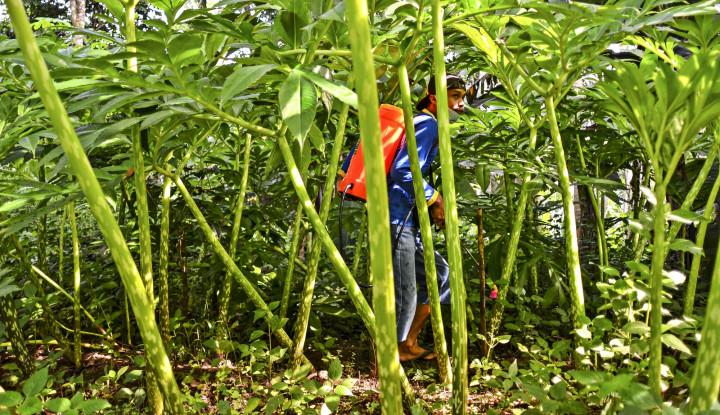 Foto Berita Bisnis Porang Menggiurkan, Dahlan Iskan Berguru Langsung dengan Petaninya!