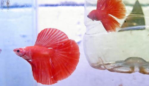Tekuni Bisnis Ikan Hias, Mahasiswa UNS Solo Ini Raup Puluhan Juta