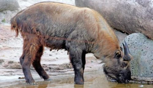 Taman Safari Indonesia Perkenalkan Hewan Takin, Di Asia Tenggara Hanya Ada di Indonesia