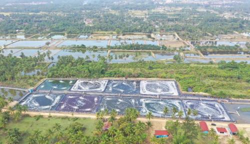 Tambak Udang Model Klaster Tahun 2020 di Kabupaten Aceh Timur Mulai Panen Parsial Perdana