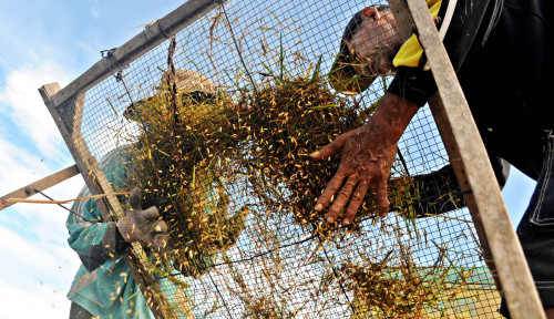 Kementan Komitmen Bantu Serap Gabah Petani