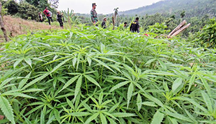BNN Musnahkan Ladang Ganja Sampai Dua Hektare