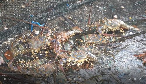 KKP Gandeng Pemkab Lombok Timur Bangun Sentra Industri Budi Daya Lobster Nasional