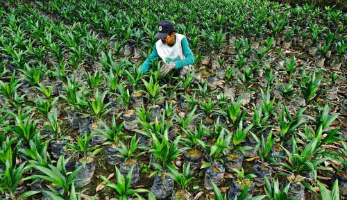 Target 4 Ribu Hektar di 2021, Pekebun Sawit di Paser Rasakan Manfaat Replanting