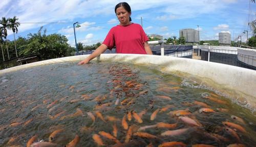 Foto Sekali Panen Ikan Raup Cuan Belasan Juta, Mau Coba Jadi Petani Milenial?