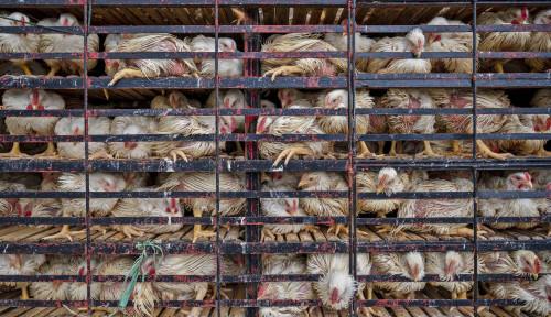 Indonesia Bakal Kebanjiran Ayam Impor dari Brasil, Kemendag Bantah Keras