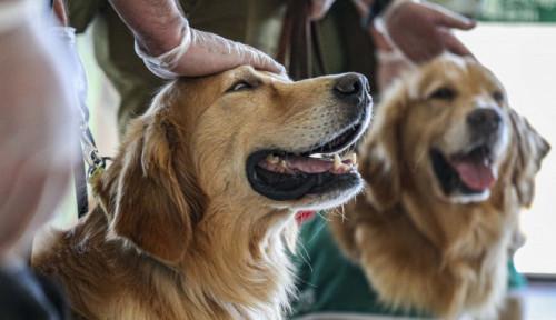 Anjing yang Terlatih Bisa Endus Covid-19 dengan Akurasi Tinggi