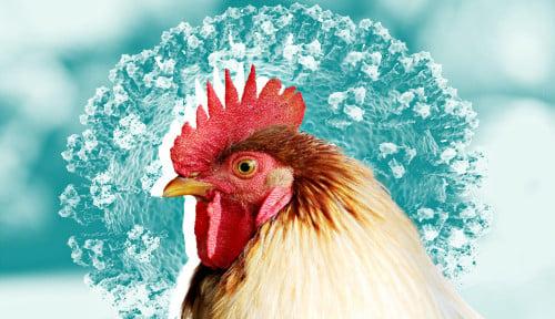 India Luncurkan Investigasi Kematian Manusia Pertama Akibat Flu Burung
