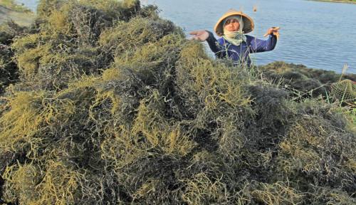 Indonesia Berpotensi Kuasai Pasar Rumput Laut Dunia